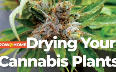 Drying Your Cannabis Plants