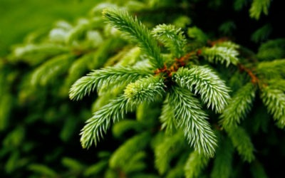 Terpene of the Month: Pinene